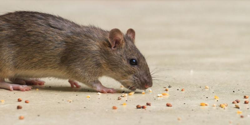 Tips to Make Electronic Rat Traps Effective