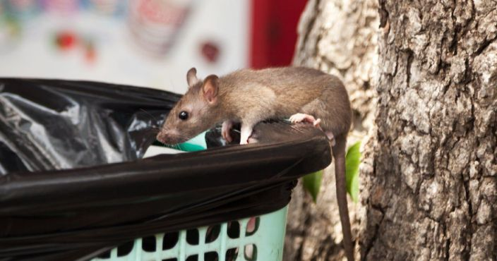 How To Deal With Rats At Home?