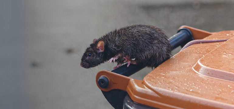 How Do Rats Get Into Home And How To Deal With Them?
