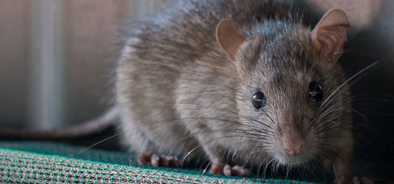5 Best Baits to Traps the Rats